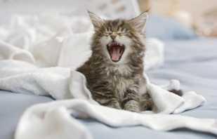 Que faire si un chat commence à cracher sur le lit, raisons possibles